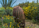 Barrel Cactus Amidst Wildflowers