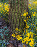 Saguaro and Brittlebush