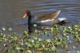 Gallinule poule d'eau / Common Moorhen