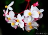 Begonia, Hawi, Hawaii