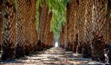 palm plantation, Thermal, California