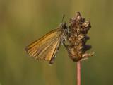 Thymelicus lineola