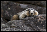 5531 marmot
