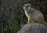 Slender-Tailed Meerkat. Used 500mm-equiv zoom.  #0968