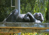 The chimps seldom left the upper areas and are quite far away.  1111