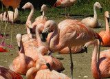 The Pink Flamingos were very salmon-colored. 1138