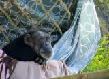 I like the cloth colors. Very domesticated chimp.1150.