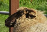Sheep.1192.