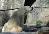Polar bear, which appeared near closing time. 289mm-equiv zoom. 1250.