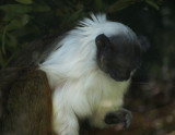 Can't remember what this sad-appearing monkey (behind glass) is. mImg_1695.jpg
