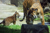 Tiger Cub, 9 wks old, at San Francisco Zoo #sftigercub