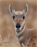 Pronghorn Antelope  (doe)