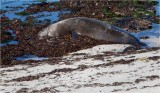 Elephant  Seal  (taking a nap)