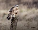 Rough-leggged Hawk