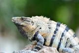 Iguana,Mexico.