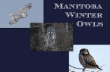 Manitoba Winter Owls