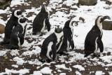 Penguins IMGP9637a.jpg