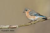 Eastern Bluebird  ( 1st yr )