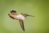 Rufous Hummingbird upside Down