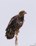 Bald Eagle_Juvie