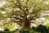 Moreton Bay Fig Tree at the Royal Botanic Gardens in Sydney