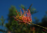 Flower at Ayers Rock