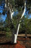 Ghost Gum Tree