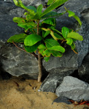 Rock and Plant at Trinity Beach