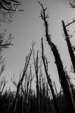 Dead trees reach for the sky near Glenorchy, New Zealand
