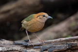 Rusty-naped Pitta (Doi Lang)