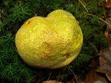 Aardappelbovist = Scleroderma verrucosum