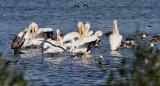 IMG_9598wh pelicans.jpg