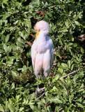 IMG_9669cattle egret.jpg