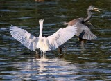 IMG_9709tricolored and  egret.jpg