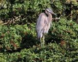 IMG_9720great blue heron.jpg