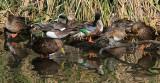 IMG_9730preening ducks.jpg