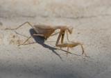 3. Mantis religiosa (adult female)