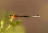 1. Ischnura senegalensis - Common Bluetail