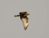 14. Common (Western Steppe) Buzzard - Buteo buteo vulpinus