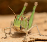 Locusta Migratoria