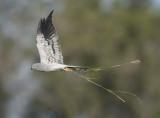 Montagu's Harrier - Circus pygargus (adult male)