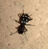6. Anthia (Thermophilum) duodecimguttata (Bonelli, 1813) - Domino Beetle