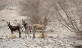 feral Donkey - Equus africanus
