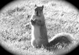 A squirrel on the lawn of ISUs School of Engineering DSCF7515.jpg