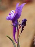 Esporão; Linária-de-cor-de-ametista (Linaria amethystea subsp. amethystea)
