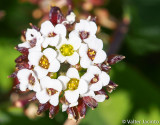 Assembleias (Iberis procumbens subsp. procumbens)