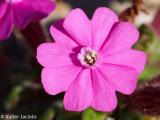 Alfinete-das-areias (Silene littorea subsp. littorea)