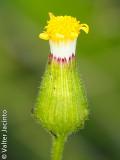 Erva-loira-de-flor-grande; Tasneira-azulada (Senecio lividus)