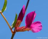 Ervilhaca-miúda // Common Vetch (Vicia angustifolia)