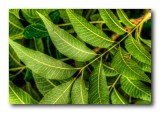 Walnut Tree Leaves